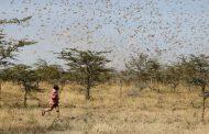 Çöl çekirgeleri Koronavirüs'ten tehlikeli