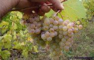 Gürcistan'dan 55 Ülkeye Şarap İhracatı...